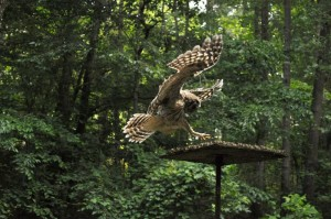 hawk rescue and owl rehabilitation