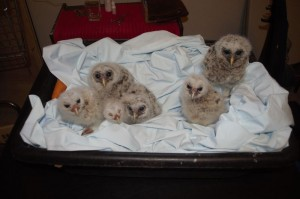 Hacking orphaned hawks and owls
