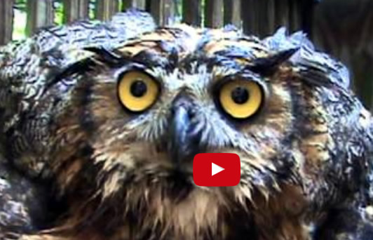 Great Horned Owl – Monteen McCord introduces Frances