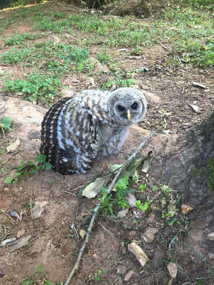 Birds of Prey – Barred owls in the hacking process  061916
